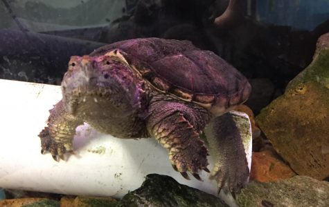 WANTED: Caretaker for Mr. Graves' turtle Walter